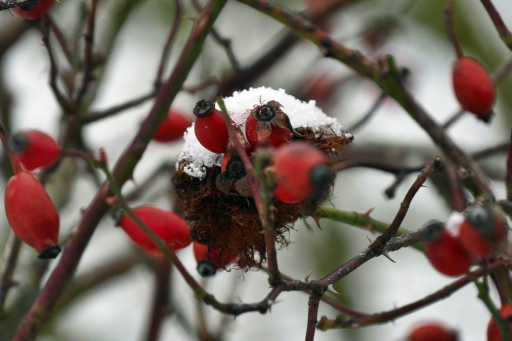 Rote Hagebutten mit einer kleinen Mütze aus Schnee